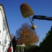 Großbaumverpflanzung Buche Wasserburg Bodensee