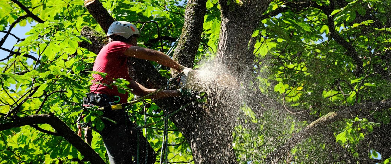 Baumabtragung Baumfällung mit Baumpflege mit Seilklettertechnik